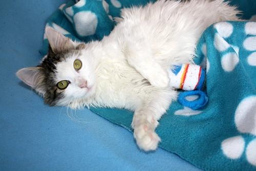 Neus, gata blanca cruce Van Turco pelo largo nacida en Julio´13 en adopción. Valencia. ADOPTADA. 12028253934_9cfba1ff0b