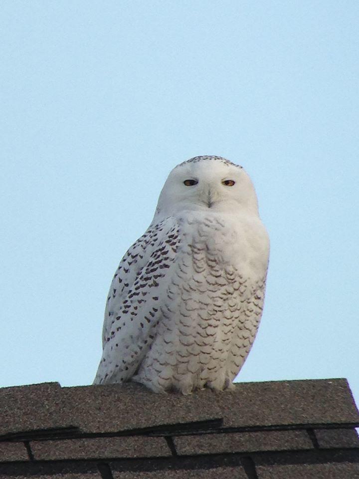 Snowy Owl at Edwin B. Forsythe NWR
