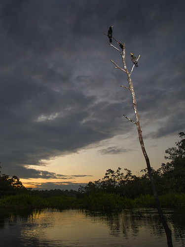 sunset rio river amazon cormorant napo neotropiccormorant phalacrocoraxbrasilianus jeffdyck olivaceous neotropic