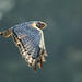 Spotted Harrier by 0ystercatcher