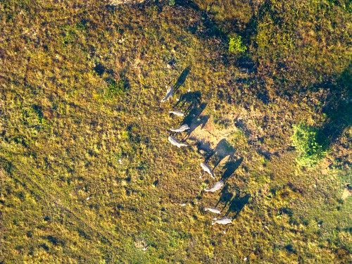 Zebras from above