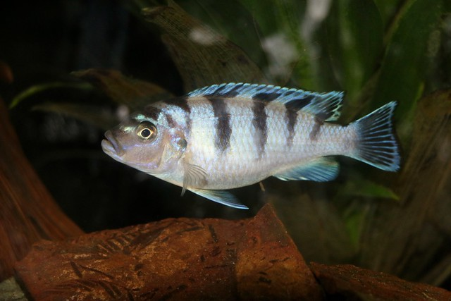 Kenyi African Cichlid Fish In My Tank By