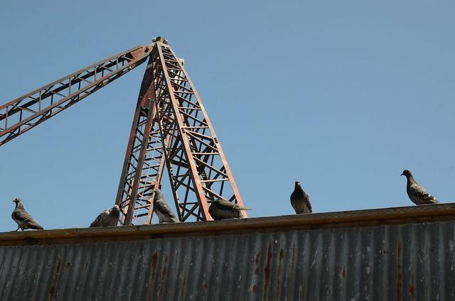 Sausalito pigeons