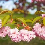 Cherry Blossom Tree, Branch Brook Park, Essex County, New Jersey