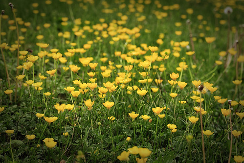 philadelphia pennsylvania may buttercups canonefs60mmf28macrousm canoneos70d