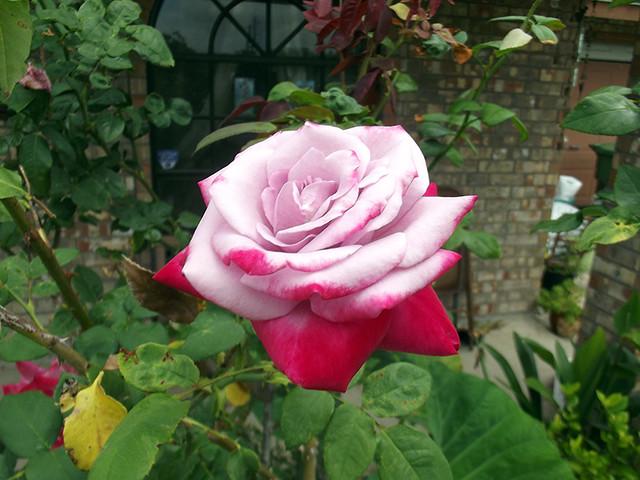 Mystery Rose I