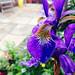 Iris by Jamie Arnold
