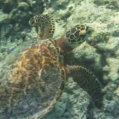 Leatherback Turtle taken on the house reef at Kunfunadhoo island (Soneva Fushi)