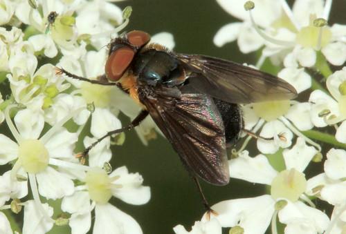 Diptera 30210