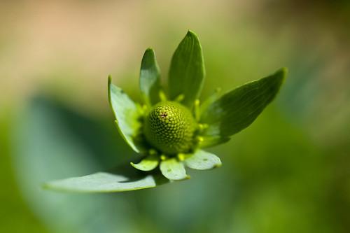 DSC_9106 rudbeckia maxima