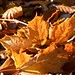 Sycamore Leaves. by Nurmanman