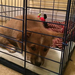 This little girl is not excited about her crate. #stayingstrong, #nopenotmine, #babybarkley