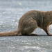 Small Indian Mongoose - Photo (c) J. N. Stuart, some rights reserved (CC BY-NC-ND)