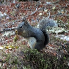 Campground squirrel.