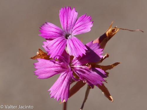 Cravinho (Dianthus lusitanus)