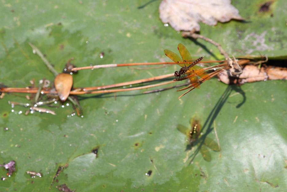 073113_04_bug_dragonfly10