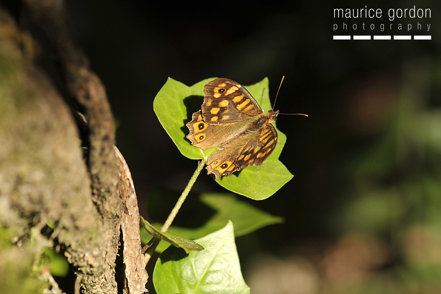 speckled-wood_DSC4325