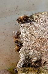 abeilles 2013