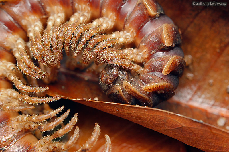 Coiled up flat-backed millipede