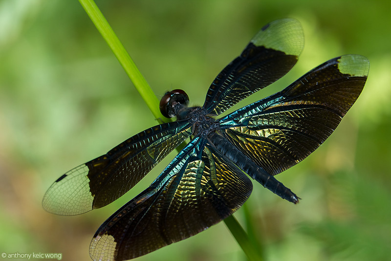 Beautiful metallic blue-winged dragonfly, Rhyothemis sp (Libellulidae)