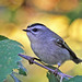 Golden Crowned Kinglet in an Amber World by NYC Wild