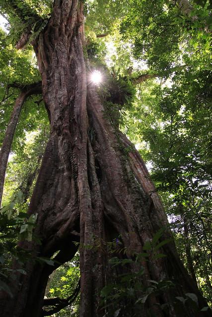 Large tree with sun behind, Gunung Leuser National Park, Sumatra