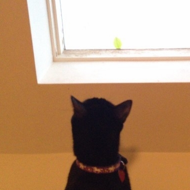 The leaf on the skylight is driving Luna insane! #cats #catsofinstagram