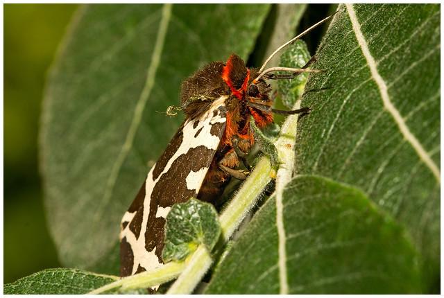 Garden Tiger Moth.