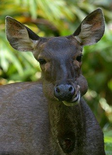 Troubled Future of the Sambar Deer