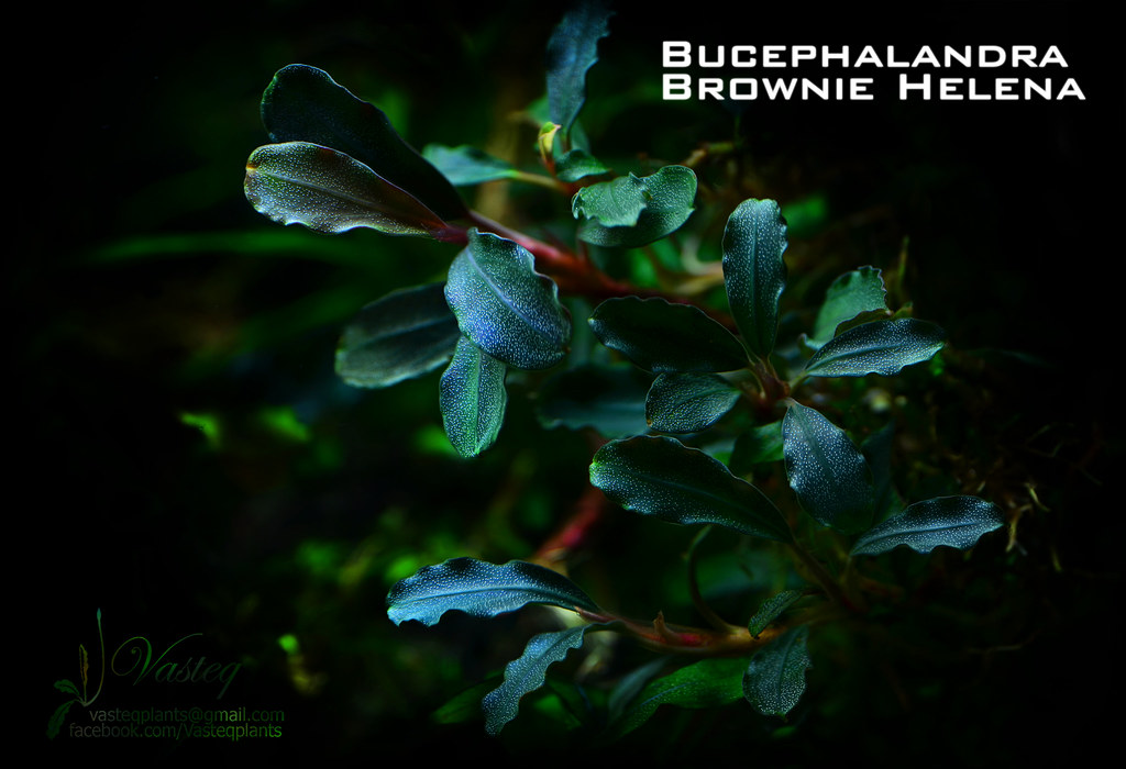 [Classify] Bucephalandra sp. Brownie varieties 11583463685 225c4c976d b