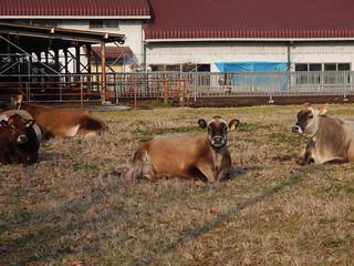 共進牧場の牛 by wishigrow