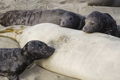 Northern Elephant Seal Pups, One Nursing, Two Watching