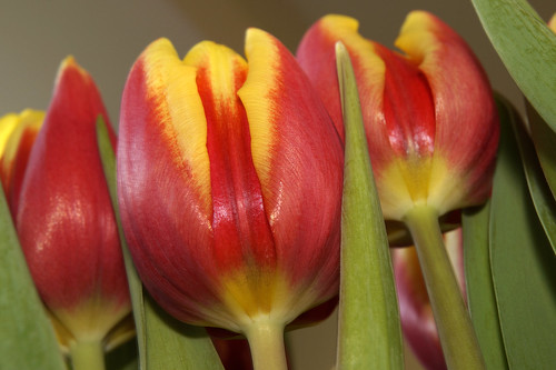 A bunch of tulips in a vase