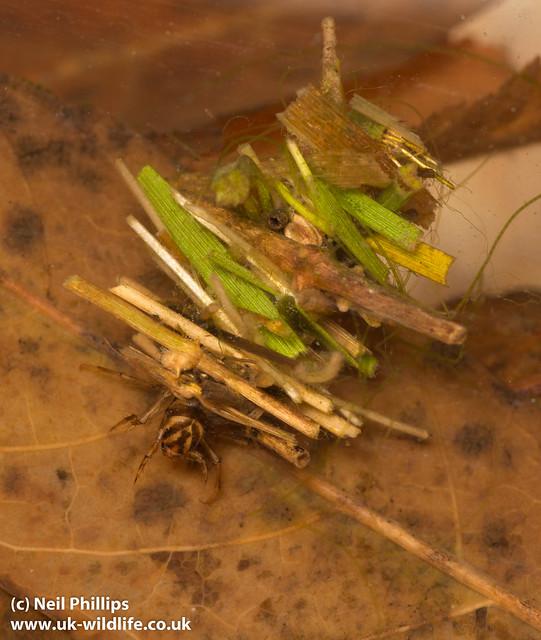 Twig case caddislfy larva 2 - Limnephilus sp