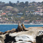 Sea Lions of La Jolla