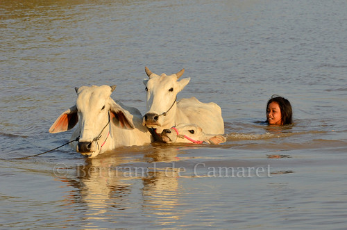 sunset water horizontal swim cow asia cambodge cambodia eau child ngc asie enfant fille mekong vache coucherdesoleil nage nationalgeographic kampongcham bertranddecamaret