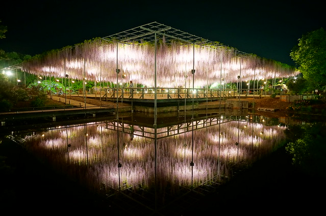 Ashikaga Wisteria festival 2014 39