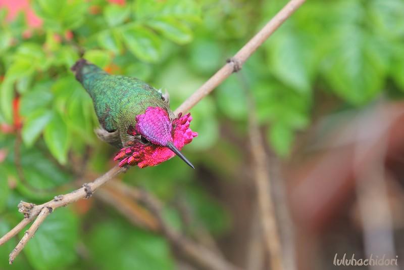 Anna's Hummingbird 050614