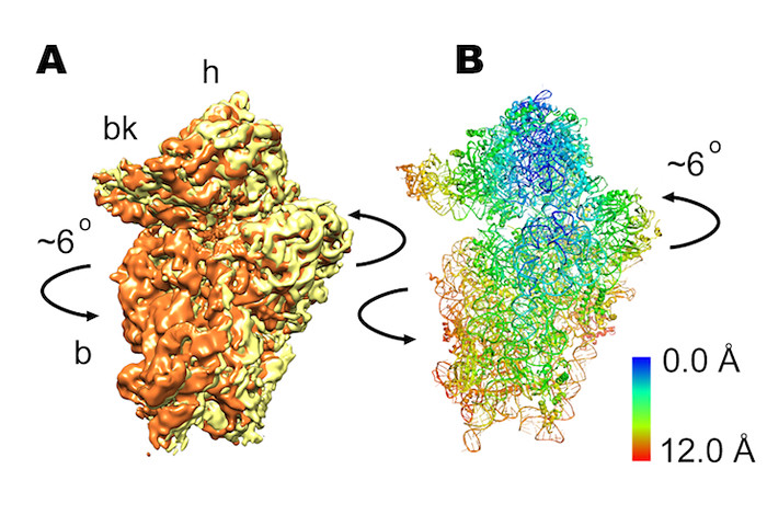 Figure 3. The newly discovered rolling movement shown in (A) three-dimensional cryo-electron microscopy image of ribosome, and (B) computer-generated atomic-resolution model of the human ribosome consistent with microscopy. A). Arrows indicate the direction of movement during transition between the two different states. B). Ribbons represent backbone of RNA and protein molecules within the ribosome. Color bar indicates the amount of motion during rolling.