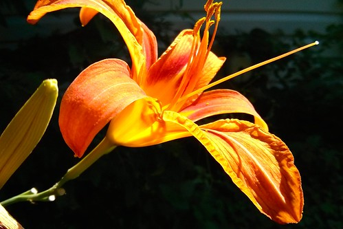 flower 510fav newcastle de daylily