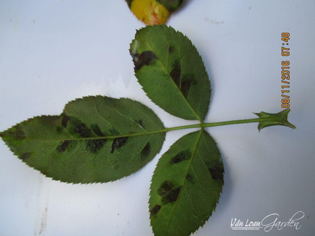 benh vang la benh suong mai tren cay hoa hong Downy Mildew rose (14)-vuonhongvanloan.com