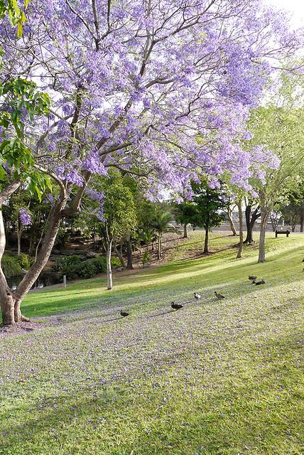 Grafton jacaranda