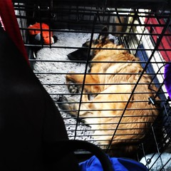 The baby brown dog is such an awesome little traveler. Calm and quiet in the car (in someone else's crate), good in hotel rooms (although she would prefer less time in her crate :stuck_out_tongue_winking_eye:), and fine with random places and random peopl