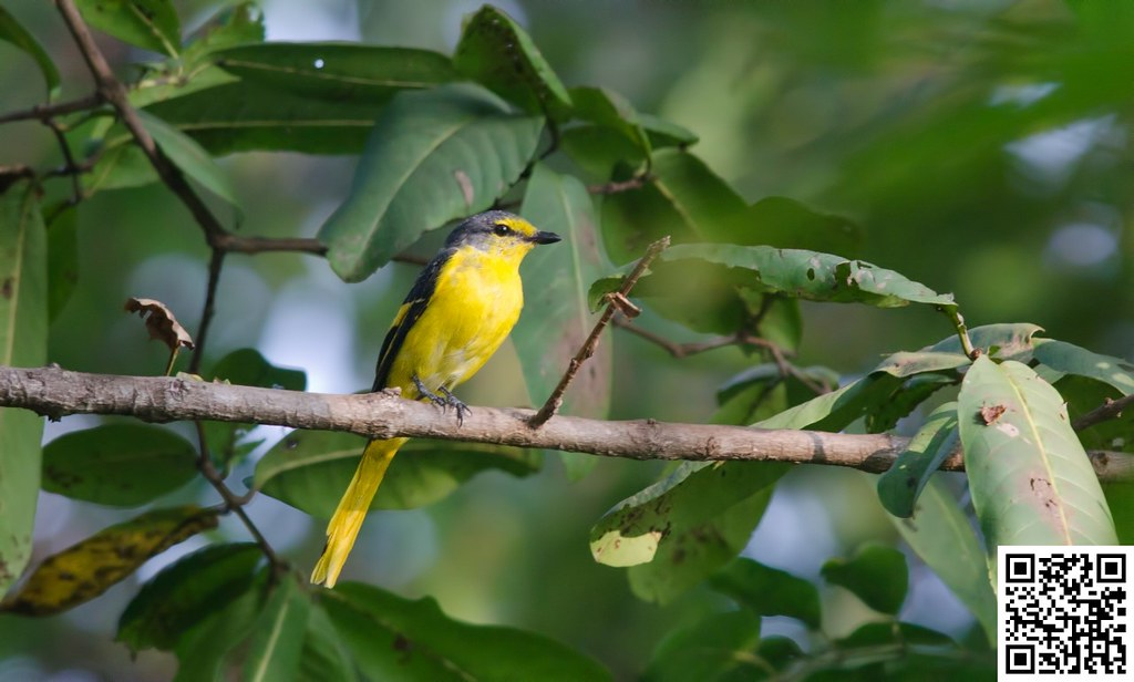 Orange Minivet [Minivet Escarlata]