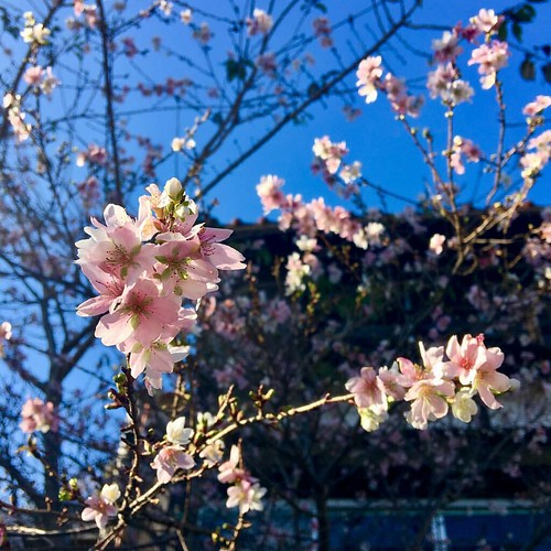 Shikizakura (Winter cherry blossoms)   While ordinary cherry trees only bloom once in spring, the Obara shikizakura blooms once in spring, and again from October to December. The small five-petaled blossoms are thought to indicate a cross between the mame