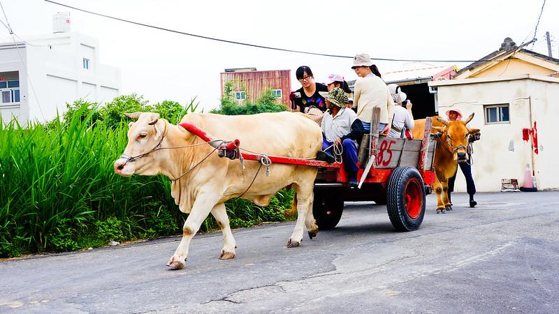 轉彎遇到牛