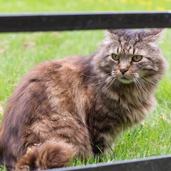 domestic long-haired cat, animal, maine coon, british semi-longhair, small to medium-sized cats, pet, mammal, fauna, siberian, cat, wild cat, whiskers, norwegian forest cat, domestic short-haired cat,