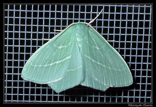 Phalène printanière (Hemistola chrysoprasaria)