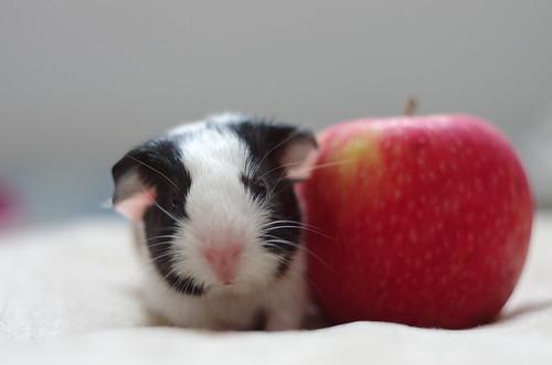 Baby guinea pig by Shogunyuqq