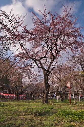 【写真】2013 桜 : 平野神社/2021-01-09/IMGP8715